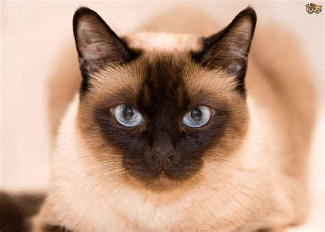 cat breeders an introduction to the various thai cat breeds pets4homes