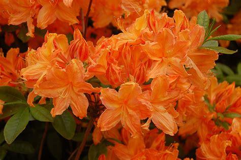 golden lights azalea rhododendron golden lights ericaceae flickr photo