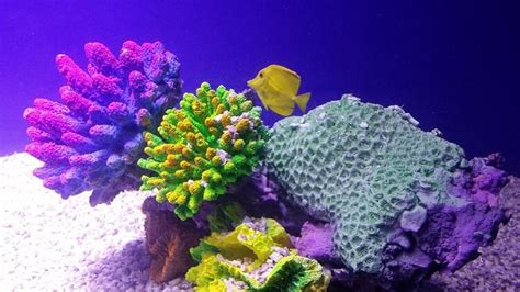 coral reef color the northernmost coral reef in the world has been bleached