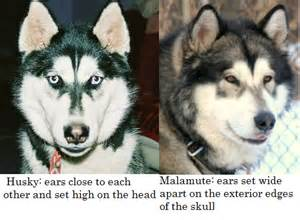 about alaskan malamutes siberian huskies dog breeds picture