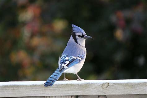 tips for attracting blue jays blain s farm fleet blog