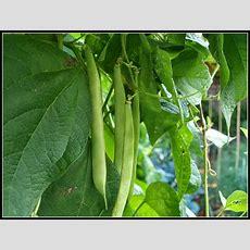 """Mark's Veg Plot Climbing Bean """"veitch's"""""""