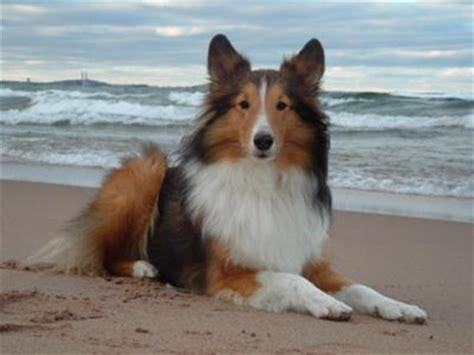 breed profile shetland sheepdog sarasota dog