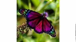 Butterflies Information