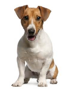 Jack Russell Terrier Dog Breeds