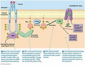 Insulin Receptor
