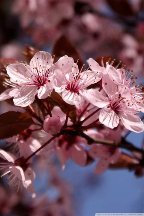 View and download our high definition pink cherry blossom wallpaper. Download Cherry Blossom Phone Wallpaper Gallery