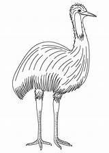 Emu Coloring Pages Australian Bird Results sketch template