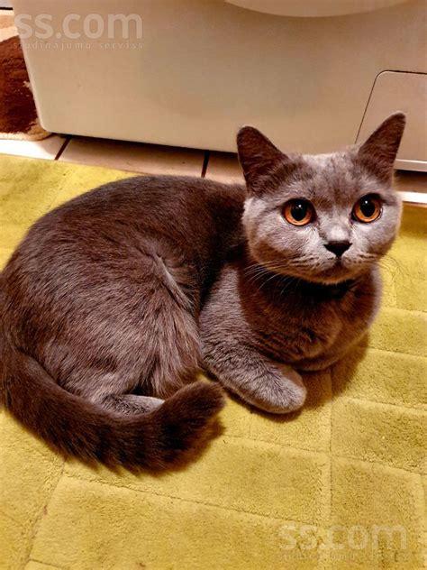 SS.COM Kaķi, kaķēni - Britu īsspalvainais, Cena 200 ...