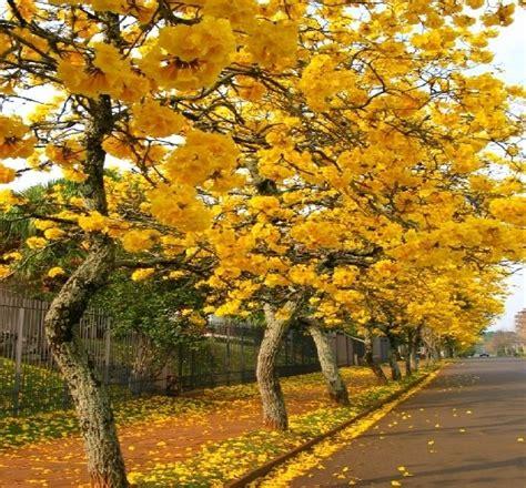 planta guayacan amarillo grande  bonsai  ornamental  en mercado libre