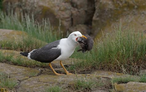 Great Black Backed Gull With Puffin Sex Love Porn