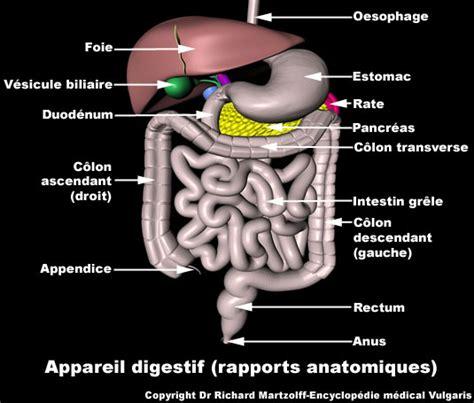 image photo appareil digestif rapports anatomiques