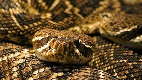 17 Best Images About Rattlesnakes On Pinterest