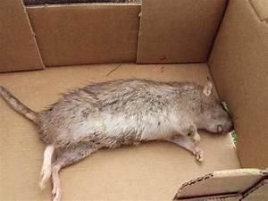 Comment Tuer Un Rat : comment tuer un rat taupier sur la france ~ Mglfilm.com Idées de Décoration