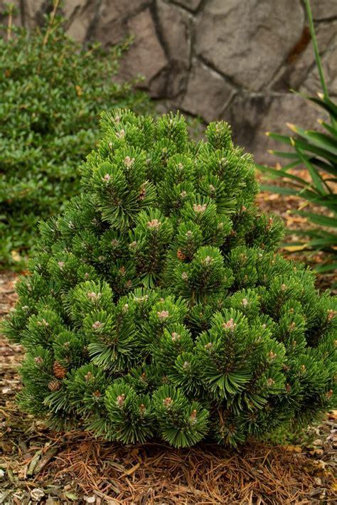 Where To Plant A Mugo Pine Valley Cushion Plant