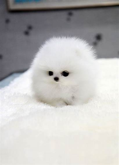 Pomeranian Teacup Micro Puppy Puppies Dogs Amazing