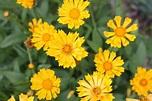 Coreopsis, Tickseed - Blooming now