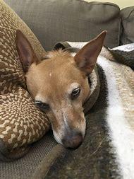 Basenji Shepherd Mix Dogs