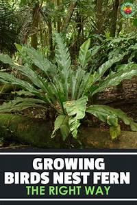birds nest fern how to grow and care for asplenium