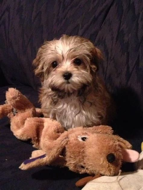 happy tail quot cora quot a yorkie poo puppy went to her new