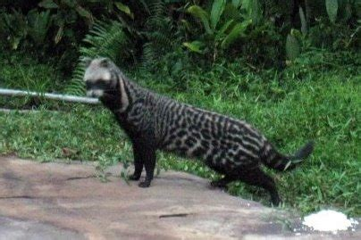 There are 299 mammal species in south africa, of which two are critically endangered, eleven are endangered, fifteen are vulnerable. Picture 3 of 7 - African Civet (Civettictis Civetta) Pictures & Images - Animals - A-Z Animals