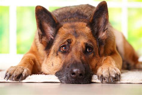 dog food   german shepherd