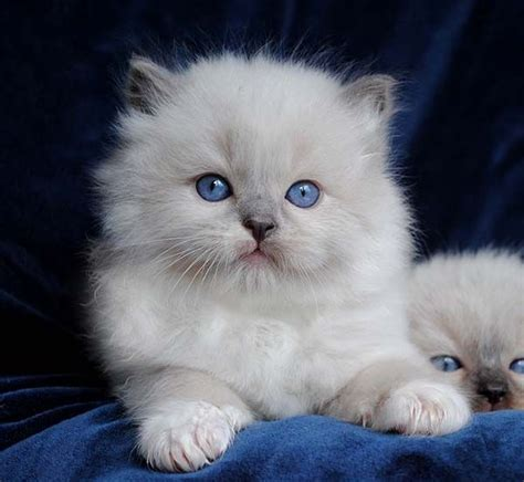 do ragdoll cats shed 25 best ideas about ragdoll kittens on