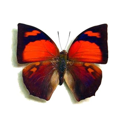 red purple anaea ryphea butterfly  peru real