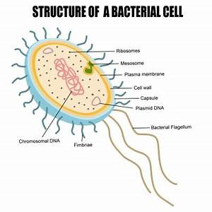 Bacterial Cell | Structures, Characteristics of Bacteria ...