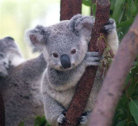 photo b 233 b 233 koala