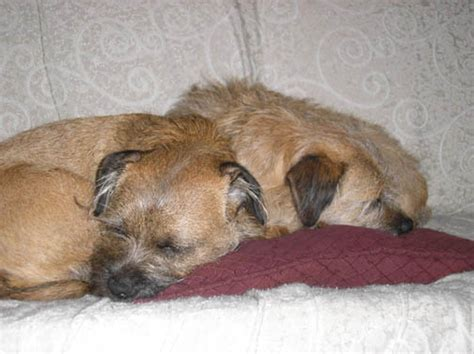 Adopted Border Terrier Stories