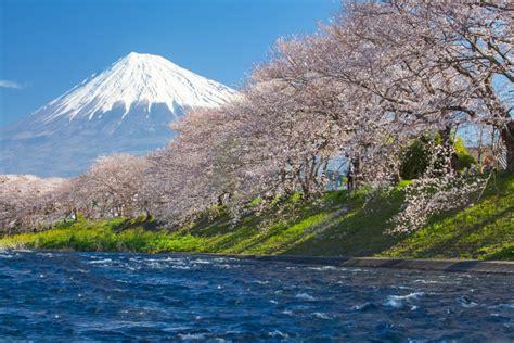 beautiful mountain fuji  sakura cherry blossom  japan spring season custom wallpaper
