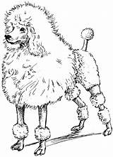 Poodle Coloring Toy Pages Drawing Printable Poodles Line Google Clipart Drawings Psf Clip  Sketches Getdrawings Drawn Getcolorings Library Kr sketch template