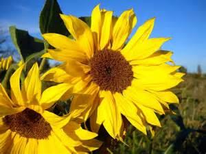 modell architektur bilder für das handy pflanzen blumen sonnenblumen kostenlos 23797