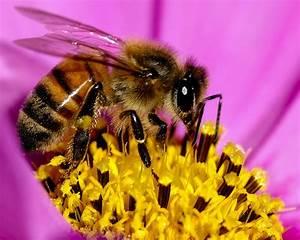 Warum Machen Bienen Honig : bienen warum wir sie brauchen warum sie bedroht sind ~ Whattoseeinmadrid.com Haus und Dekorationen