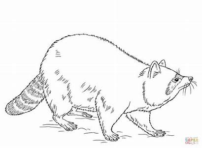 Raccoon Coloring Pages Raccoons Drawing Draw Dog