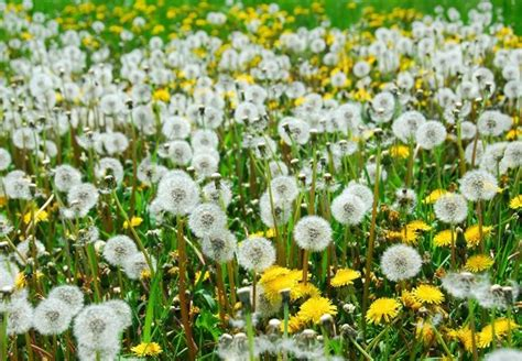 how to get rid of dandelions how to get rid of dandelions bob vila