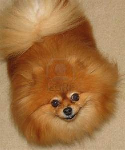 Cute Dogs: Pomeranian dog