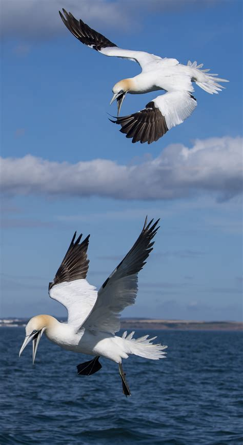 northern gannet  martyn jones birdguides