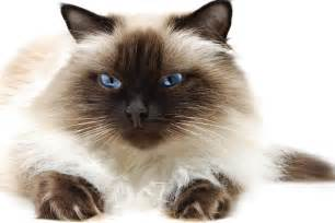 himalayan cats for himalayan cat purrfect cat breeds