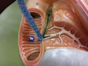 digestive system - lab - Biology 2320 with Sawitzke at ...