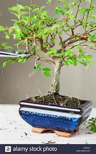 Bonsai Chinesische Ulme : ulme bonsai pflege chinesische ulme ulmus parvifolia jahre hhe cm bonsai chinesische ulme ~ Frokenaadalensverden.com Haus und Dekorationen