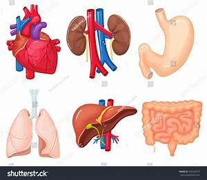 Human Organs Anatomy Heart Lungs Kidney Stock Vector