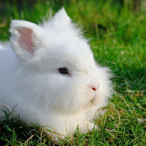 angora rabbit quot angora rabbit quot by steve liptrot redbubble