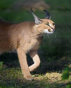 Get, To, Know, The, Serval, Cat, The, Most, Popular, Exotic, Pet