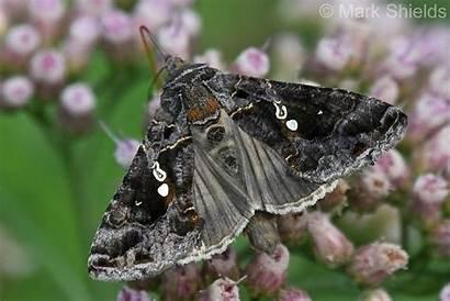 Chrysodeixis Moths Looper Soybean Includens 1858 Walker