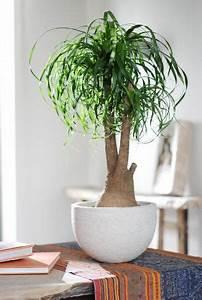 Bäume Für Drinnen : 14 besten zimmerpflanzen bilder auf pinterest ~ Michelbontemps.com Haus und Dekorationen