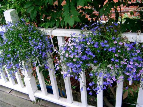 lovely lobelia annual  perennial silivecom