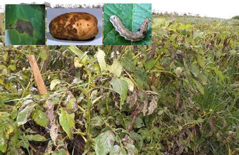 gambar hama penyakit tanaman kentang mitalom