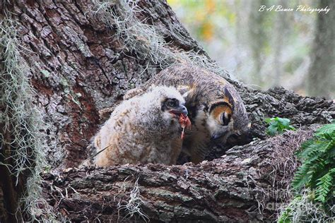 owl feeding